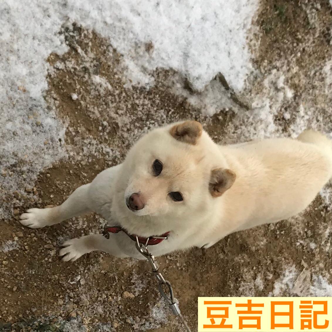 雪の中を走る白豆柴豆吉
