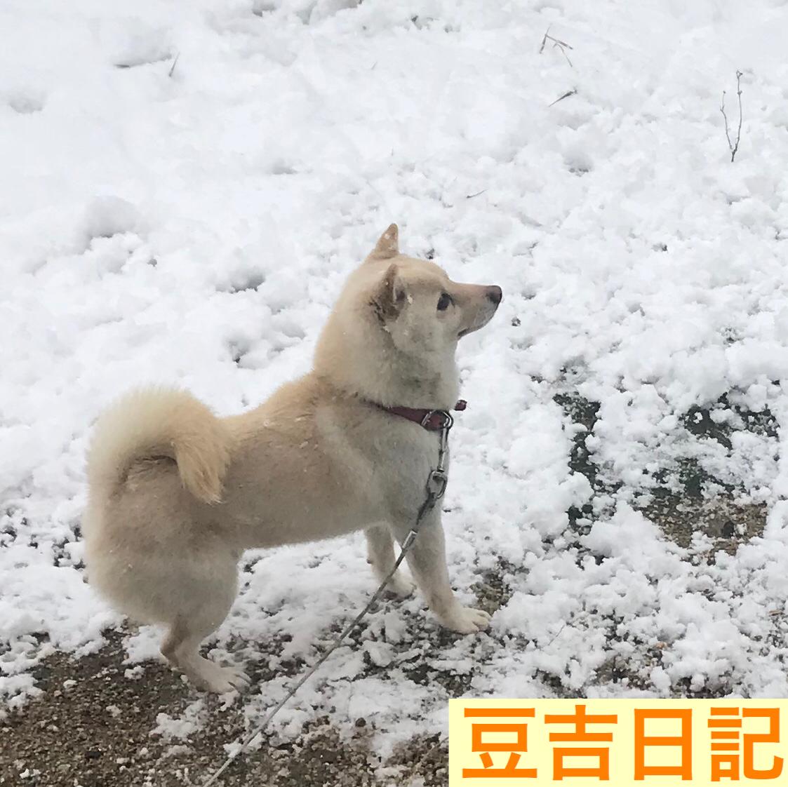 大雪を大喜びする豆柴豆吉