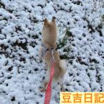突然の雪に豆柴豆吉大喜び